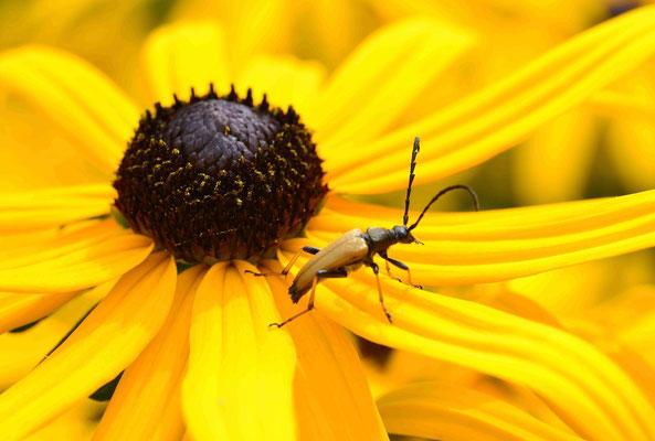 48- Halsbockkäfer, Käfer, gelb, ocker, Makro, Makroaufnahme, gelber Sonnenhut.