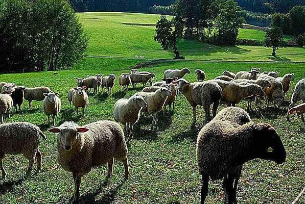 67- Schafe auf Weide in Hügellandschaft