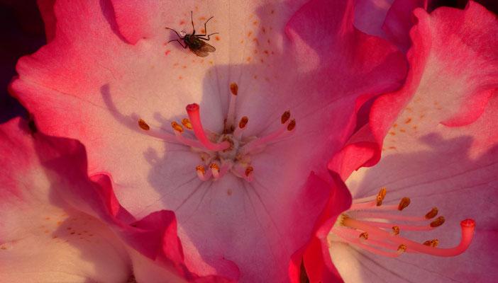 168 - Rhododendronblüte in Nahaufnahme mit Fliege