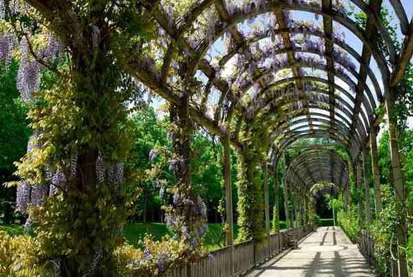 24- Blauregen, Wisterie, Wisteria, Glycine, Portal, Spalier, romantisch, Garten, Lustgarten, Flanieren