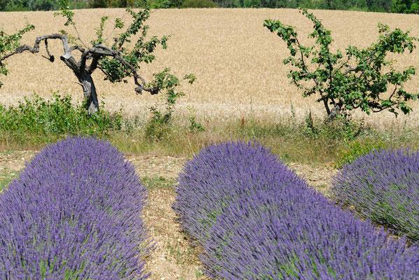 63-  Lavendelfeld, Lavendel, Frankreich, Provence