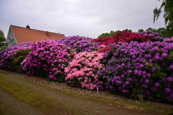 150 - Rhododendronbüsche wunderschön farbig