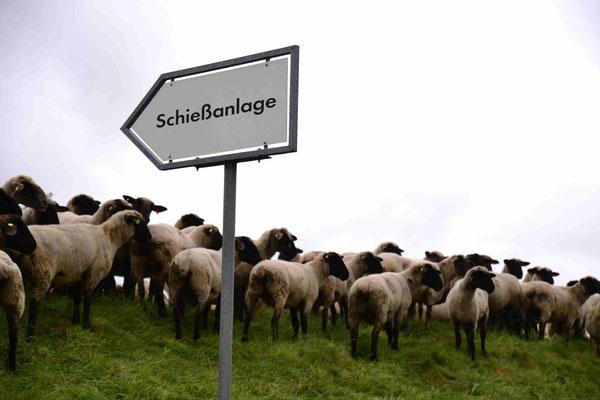 74-  Schafe auf Deich mit Schiesstandschild, Weg zum Scha(f)fott
