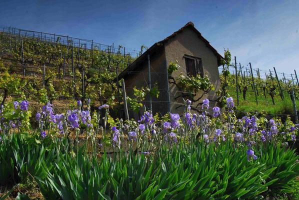47- Weinberg, mit Iris, Blumen, Weinberghütte