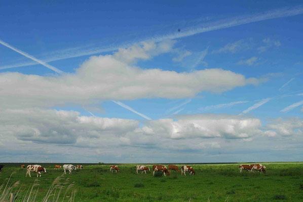 87- Weide mit Kühen