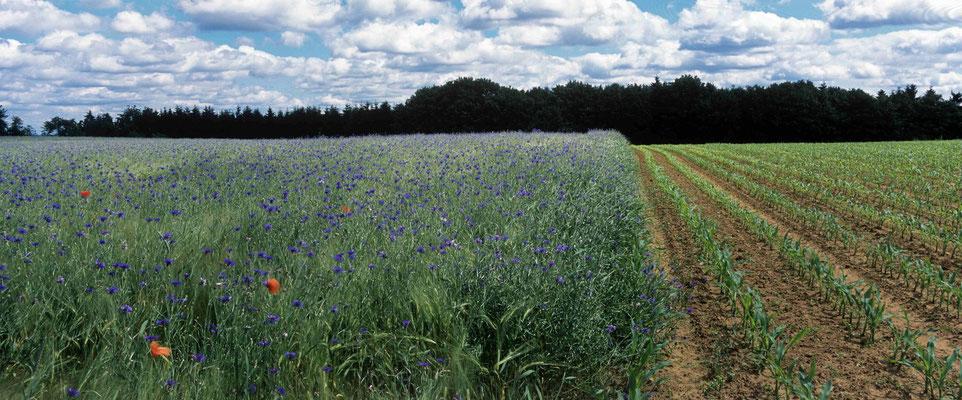 13- Getreidefeld mit Kornblumen, Getreide, Feld, Kornblumen, Mais