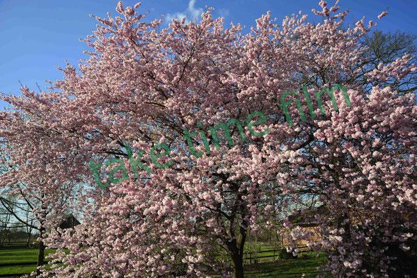 11 - Blütenpracht am Kajedeich.