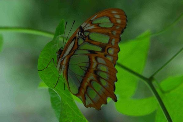 58- Malachitfalter, Malachit, Schmetterling, Falter, grün, Muster braun, Siproeta stelenes, Edelfalter