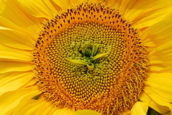 110- Sonnenblume, Helianthus, Fruchtstand