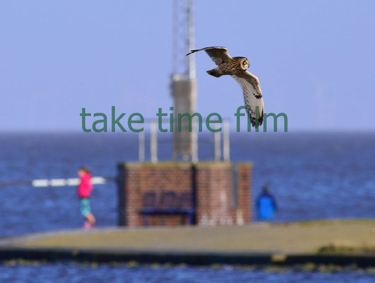 6 - Die Sumpfohreule zu Gast in Cuxhaven .