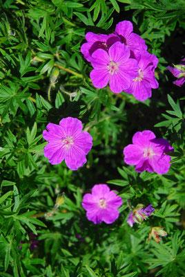 58- Storchenschnabel, rosa, Gartenblume, pink, klein, Blüten
