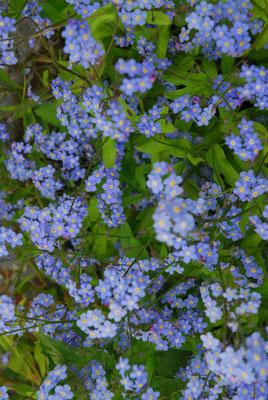 96- Vergissmeinnicht, Myosotis, Gartenblume, Blume, Blüte, hellblau, blau