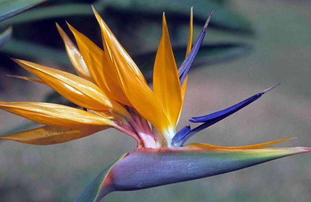 113- Strelitzie, Madeira, Blüte, orange, Strelitzia reginae,