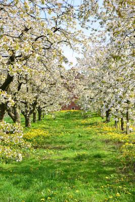 29- Apfelplantage in Blüte, Altes Land