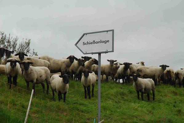 73- Schafe auf Deich mit Schiesstandschild, Weg zum Scha(f)fott
