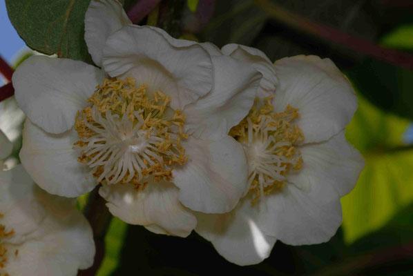 119- Kiwiblüte, Kiwi, Blüte