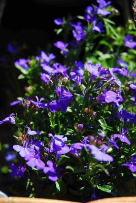 59- Lobelien, blau, Gartenblume, Garten, Balkon, Terasse, klein