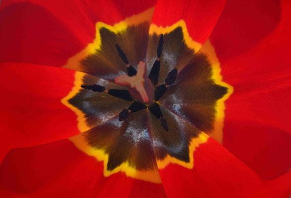 70- Tulpe, Blüte, Blatt, Detail, Nahaufnahme, Makro, rot