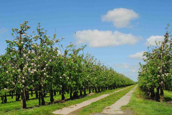 11- Apfelplantage in Blüte, Altes Land