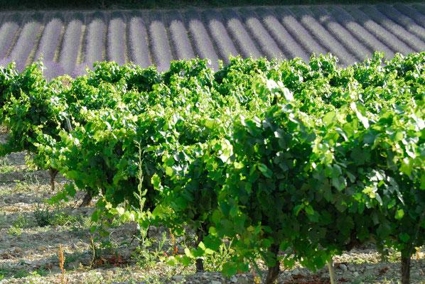 57- Lavendelfeld, Frankreich, Wein im Vordergrund
