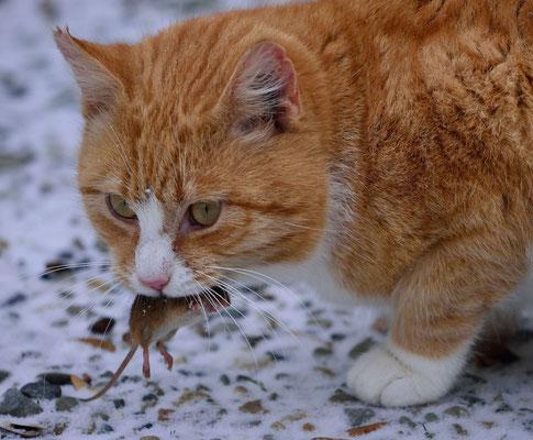 26 - Kater mit Maus, Beute, Fang, Katze, rot, getigert.