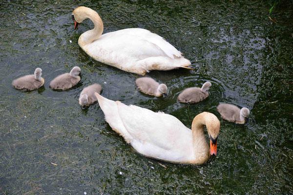 22 - Schwanfamilie mit ihrem Nachwuchs.
