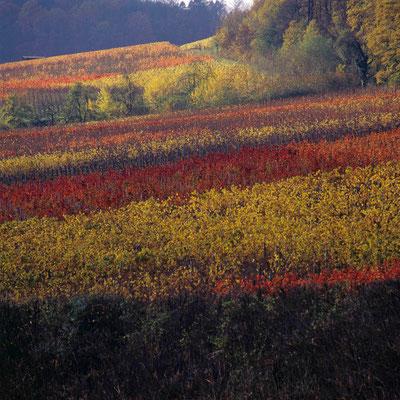 52- Weinberg, Weinbau, Wein, Herbstfärbung, Herbst, Bunte Blätter, Weinlaub