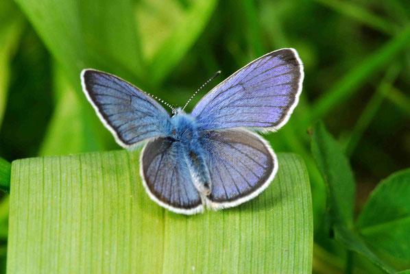 61- Himmelblauer Bläuling, Schmetterling, Falter, Tagfalter, klein, blau, hellbalu, Polyommatus (Meleageria) bellargus bzw. Lysandra bellargus