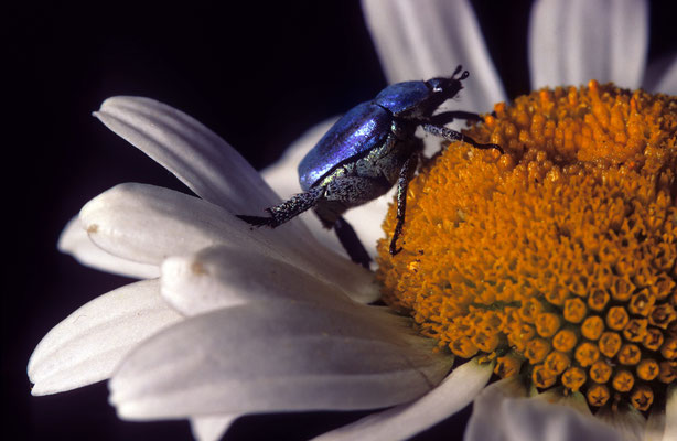 64- Minzeblattkäfer, blauer Käfer auf Margaritenblüte.