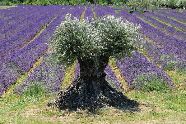 43- Lavendel, Lavendelfeld, lavande, Provence, Olivenbaum, alt