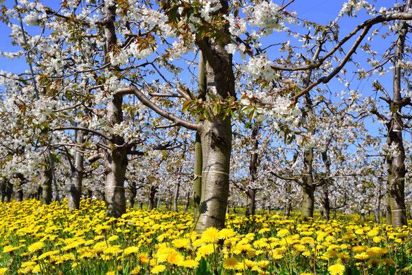 163 - Löwenzahnwiese mit Apfelbäumen in voller Blüte im Alten Land.