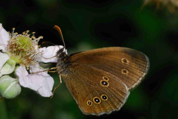 59- Brauner Walvogel, Schornsteinfeger, Schmetterling, Falter, Aphantopus hyperantus