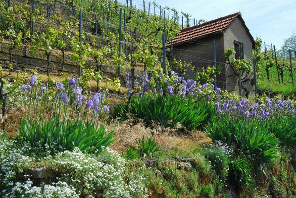 48- Weinberg, mit Iris, Blumen, Weinberghütte