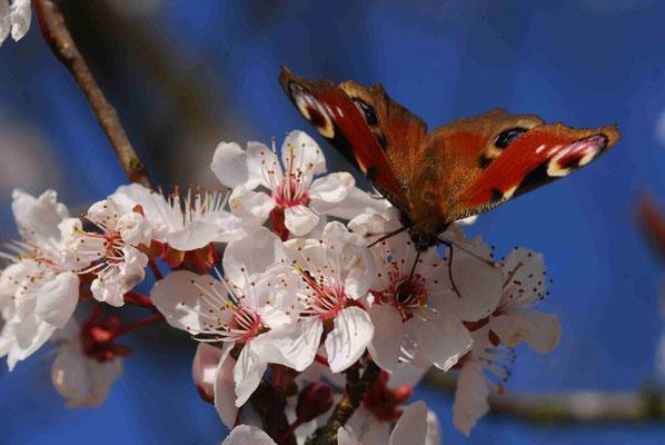 62- Tagpfauenauge, Falter, Schmetterling, auf Kirschblüte.