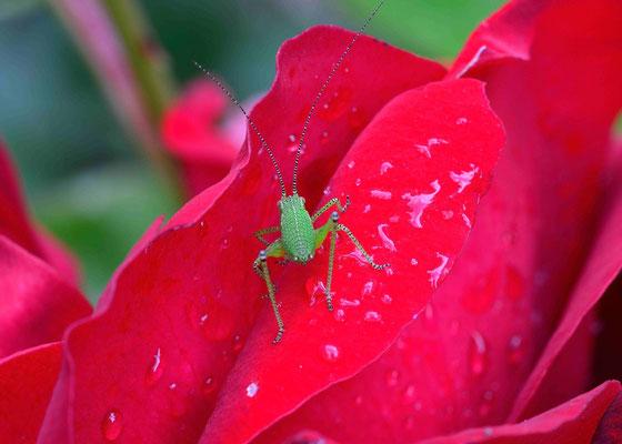 5-Rosenblüte mit Grashopper, Grashüpfer, Rose