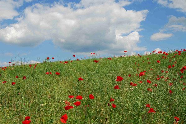 88- Klatschmohnwiese, Klatschmohn, Mohn, Wiese, Sommerwiese, Blühen, Blüten, Sommer