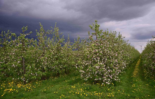 34- Apfelplantage in Blüte, Altes Land