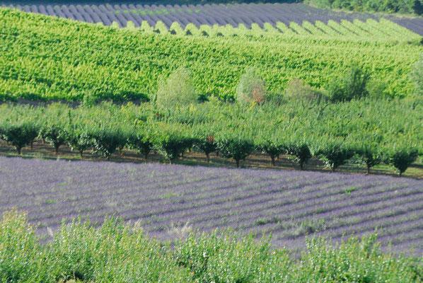 65-  Lavendelfeld, Lavendel, Frankreich, Provence, Weinbau und Olivenplantage