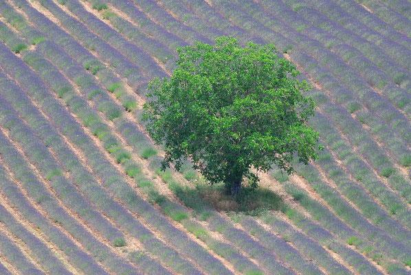 61- Lavendelfeld, Lavendel, Frankreich