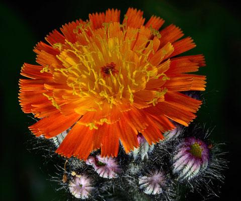 3-Habichtskraut, Wiesenblume, Gartenblume