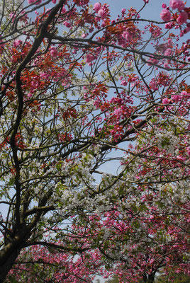 125- Mandelbäumchen, bicolor, zweifarbige Blüten, weiss, rosa