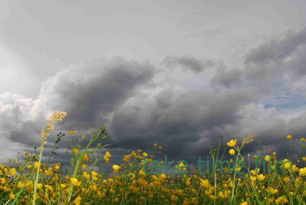 55 - Die Wolken fallen auf's Rapsfeld.