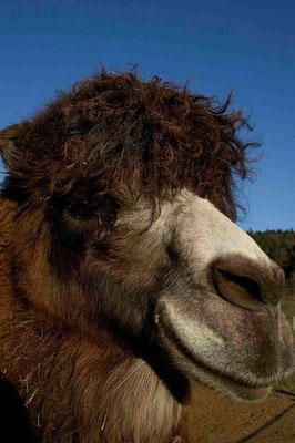 90- Kamel mit  Frisur