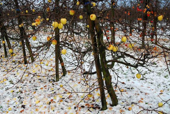 33- Apfelplantage im Winter