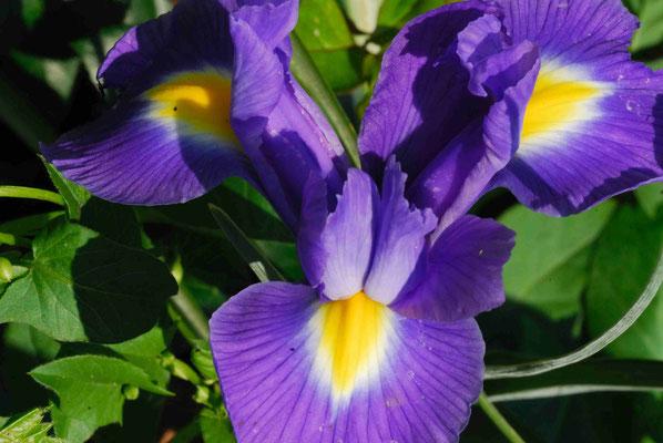 33- Iris, lila, Blüte,