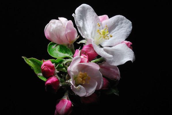 8- Apfelblüte, Makro