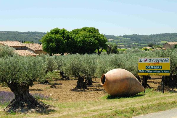 66- Olivenplantage, Olivenbäume, Olivenhain, Olivenöl