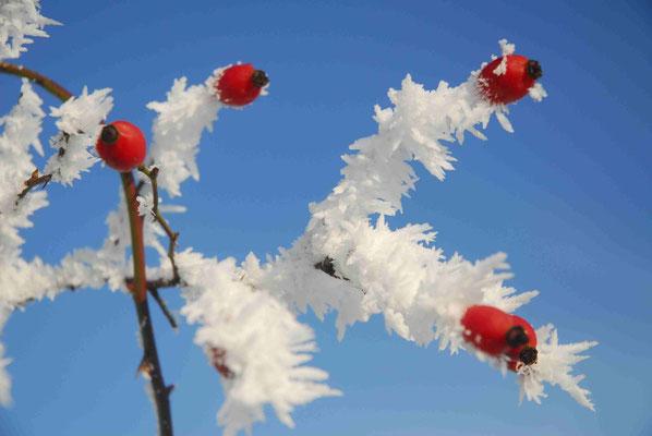 162 - Hagebutten gefrostet im Winter vor blauem klarem Himmel.