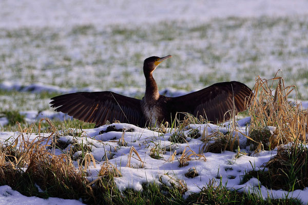 26- Kormoran in Winterlandschaft
