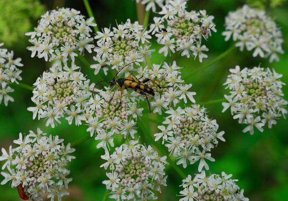 Dolde, weiss, Wilde Möhre, Käfer